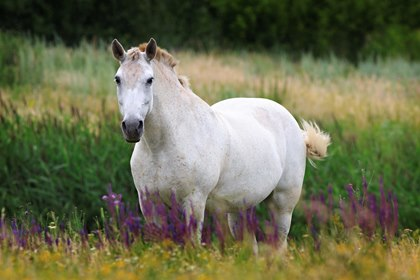 fat-gray-horse-in-pasture